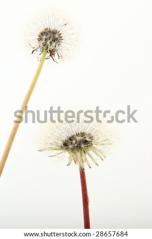 Close up of two dandelions over white.
