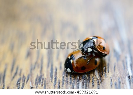 close-up of two ladybugs making love on a wood background