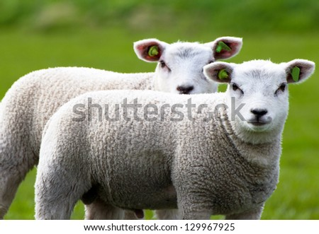 Close-up of two lambs - stock photo