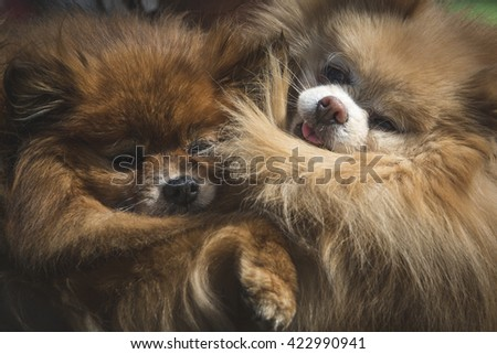 Close up of two little dogs Pomeranian breed - stock photo