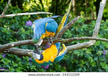Close-up of two macaw parrots in a tree