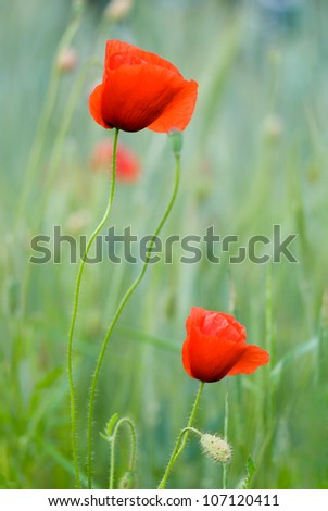Close-up of two poppies outdoor, very shallow DOF. - stock photo