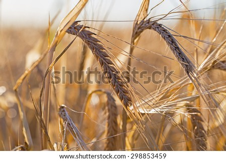 Close up of  two ripe yellow barley ears on endless big barley field on evening sunset bokeh background, rural landscape on the German field near Eppelheim, Heidelberg and Mannheim - stock photo