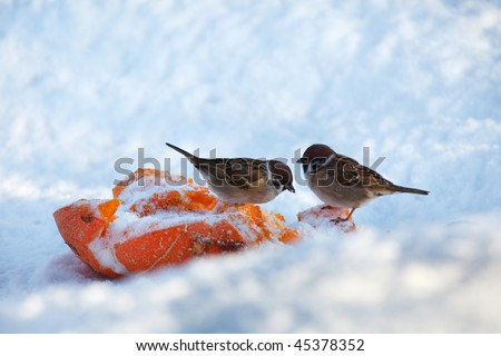 Close-up of two small birds feeding in winter snow - stock photo