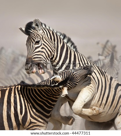 Close-up of two stallions fighting and biting ; Etosha; Equus burchell's - stock photo