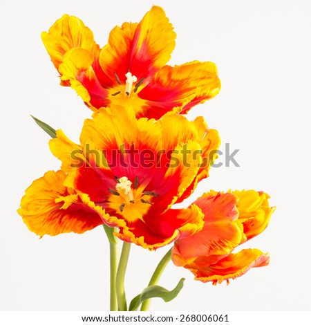 Close up of two-toned yellow and red parrot tulips. These large bloom petals are curled and feathered. Parrot tulips were developed from a mutation. - stock photo