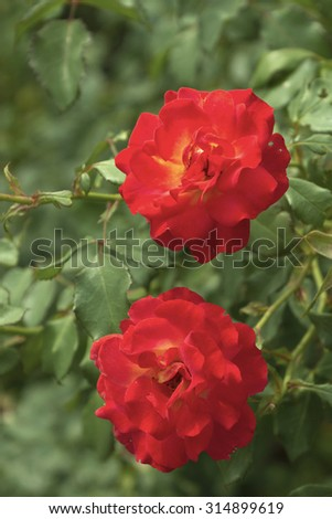 Close up of two vibrantly red flowers in a summer garden - stock photo