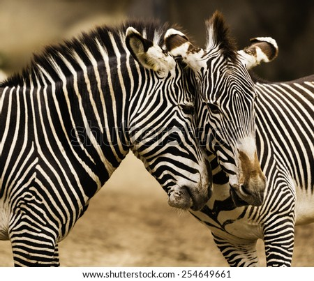 Close-up of Two young zebras playing, heads together - stock photo