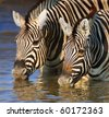 Close-up of two zebras drinking water; Etosha - stock photo