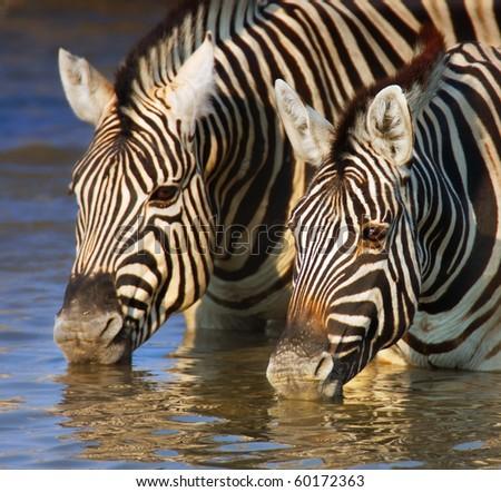 Close-up of two zebras drinking water; Etosha - stock photo