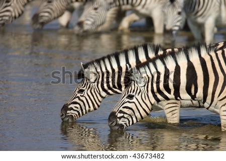 Close-up of two zebras drinking with herd in background; Etosha; Equus burchell's - stock photo