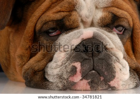 close up of ugly english bulldog with sad droopy eyes - stock photo