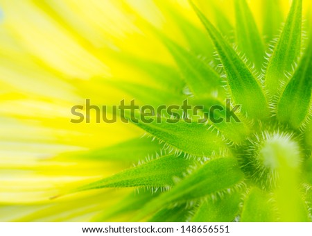 Close up of underside of yellow sunflower creates abstract background.. - stock photo
