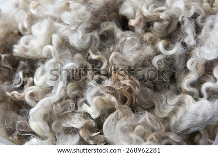 Close up of Unwashed Raw Sheep Wool in Natural Color  - stock photo