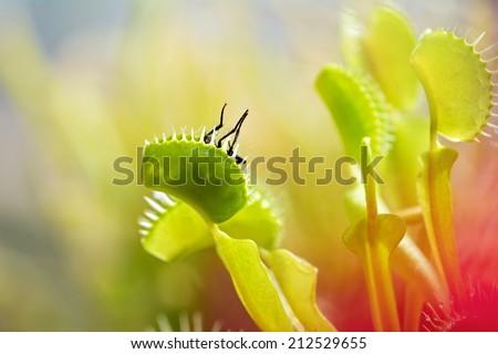 close-up of  Venus flytrap (dionaea muscipula) eating a fly. - stock photo