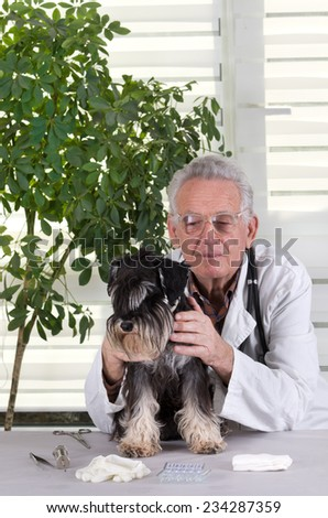 Close up of veterinarian examination with stethoscope on miniature schnauzer lying on side - stock photo