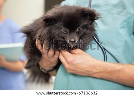 Close-up of veterinarian examining cute little dog - stock photo