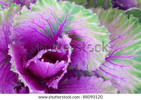 Close Up of Vibrant Ornamental cabbage - stock photo