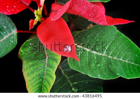 Close-up of vibrant red poinsettia and  water drops