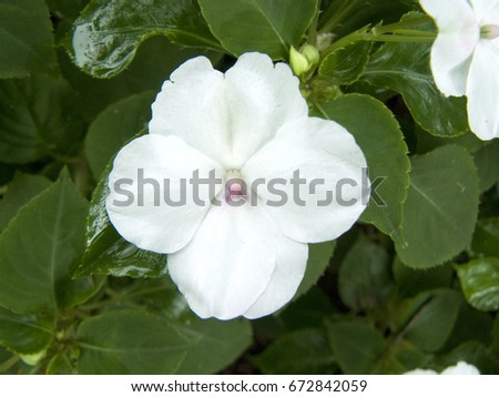 thesis on catharanthus roseus In catharanthus roseus jasmonate-responsive transcriptional regulation in catharanthus the results in this thesis demonstrate that ja-responsive orca.