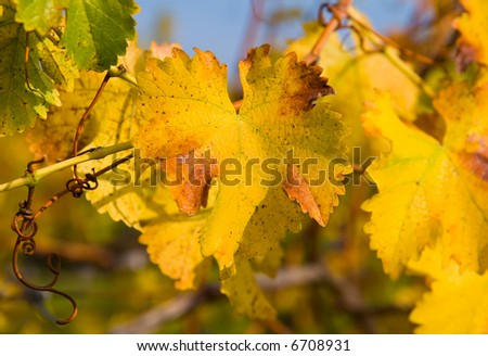 Close-up of Vineyard in Napa Valley in Autumn - stock photo