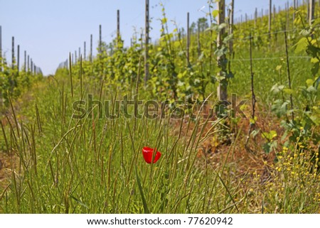 Close up of vineyard with red poppy in between the grass - stock photo