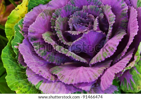 Close-up of Violet Cabbage in field - stock photo