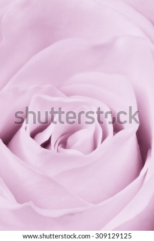 close up of violet rose petals - stock photo
