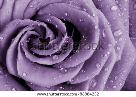 close up of violet rose petals - stock photo