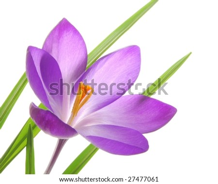 Close-up of violet spring crocus against white background - stock photo