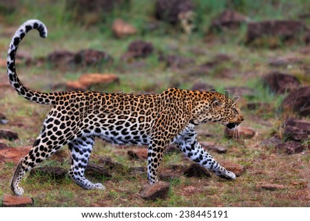 Close up of walking Leopard female Siri in Masai Mara, Kenya - stock photo