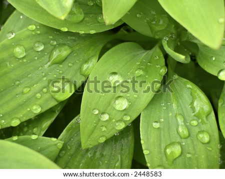Close up of water drops on fresh green leaves. - stock photo