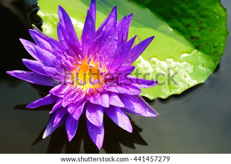 close up of water lily, Beautiful lotus blooming in pond. Macro photo - stock photo