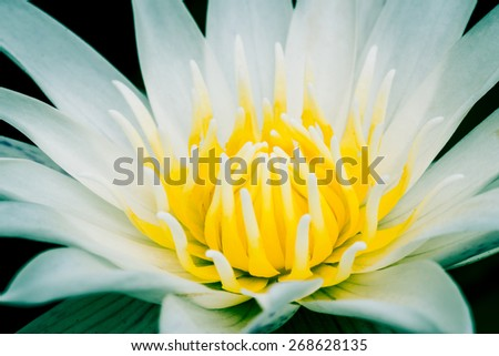 Close up of water lily or lotus, vintage process - stock photo