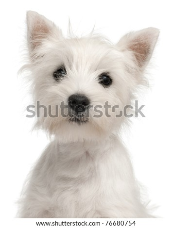 Close-up of West Highland Terrier puppy, 4 months old, in front of white background - stock photo