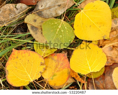 Close-up of Wet Colorful Aspen Leaves in Autumn - stock photo