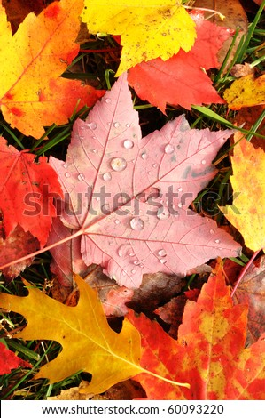 Close-up of Wet Colorful Maple Leaves in the Fall - stock photo