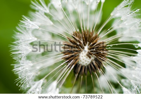Close-up of wet dandelion seed with drops - stock photo