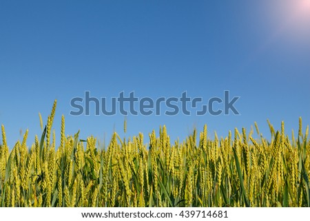 Close-up of wheat field edge over blue sky background at hot sunny dat - stock photo
