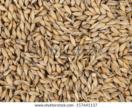 Close up of wheat grains. Whole background.