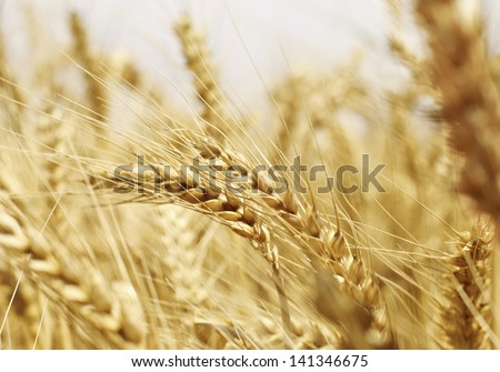 Close up of wheat head on wheat field - stock photo