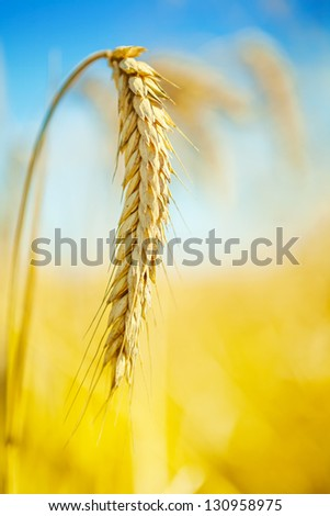 close up of wheat plant - stock photo