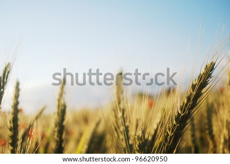 Close up of wheat plant in summer time. - stock photo