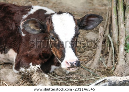 Close up of white brown strong cow looking out - stock photo