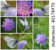 Close-up of White butterfly and Knautia arvensis collection - stock photo