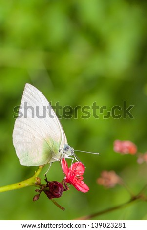 Close up of White butterfly eating on red flower - stock photo
