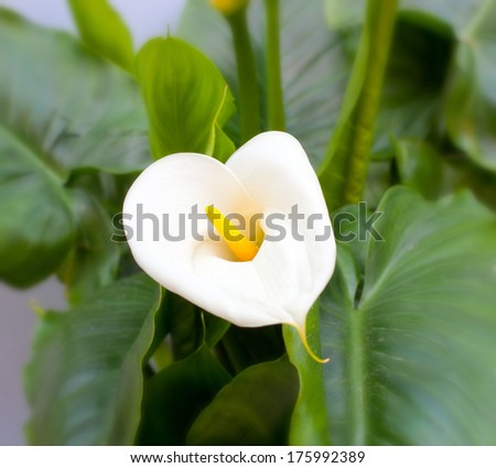 Close up of white Calla lilies with leaf - stock photo