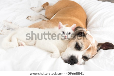 Close up of White Cat Loving Boxer Mix Dog. Sleeping Together on Bed. - stock photo