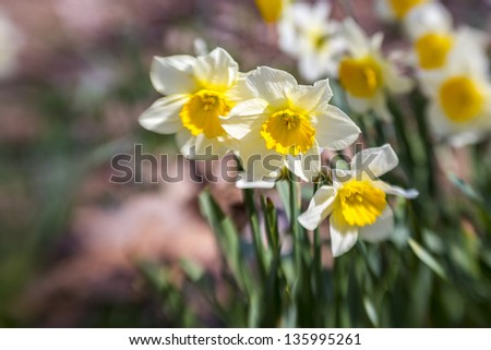 Close up of white daffodils
