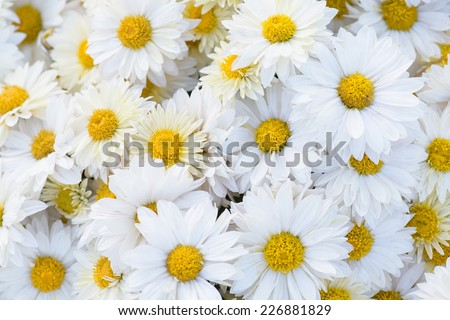 Close-up of white daisy chrysanthemum flowers. Abstract blossom background. Soft focus, shallow DOF. - stock photo
